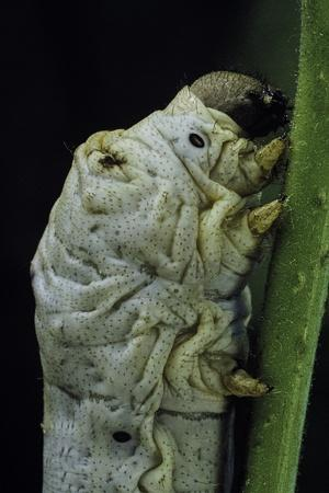 Bombyx Mori (Common Silkmoth) - Larva or Silkworm Detail