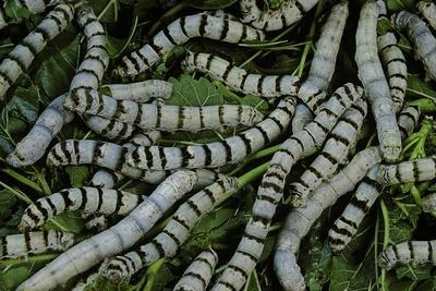 Bombyx Mori (Common Silkmoth) - Larvae or Silkworms with Mulberry Leaves