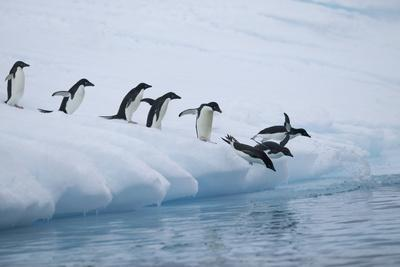 Adelie Penguins Jumping into Ocean