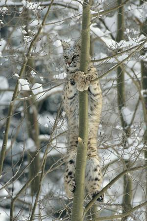 Bobcat Perched in Tree