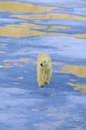 Polar Bear Walking on Pack Ice