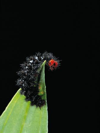 Melitaea Cinxia (Glanville Fritillary) - Black Spiny Caterpillar