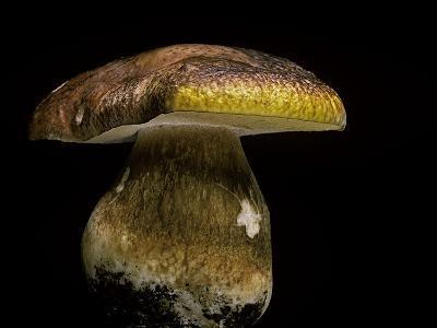 Boletus Pinophilus (Pine Bolete, Pinewood King Bolete)