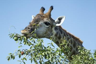 Giraffe Feeding, Chobe National Park, Botswana