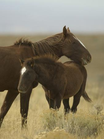 Wild Mare Protecting Foal