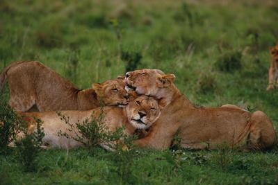 Lions Lounging in Grass