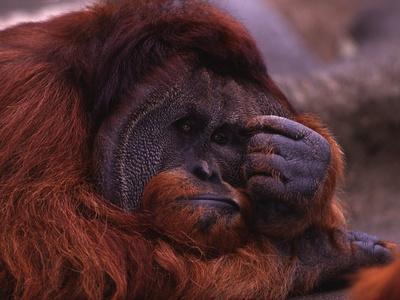 Adult Male Orangutan Thinking
