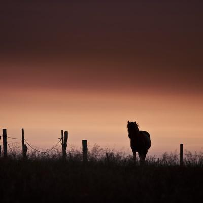 Icelandic Horse in Pasture at Sunset