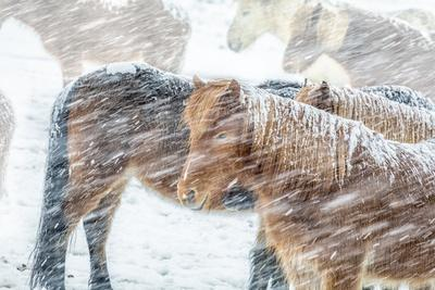 Horses outside during a Snowstorm.