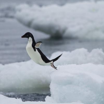 Adelie Penguin Dive