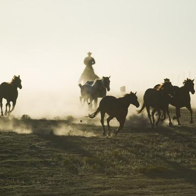 Cowboy Rounding up Quarter Horses