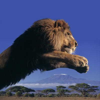 Leaping Male Lion