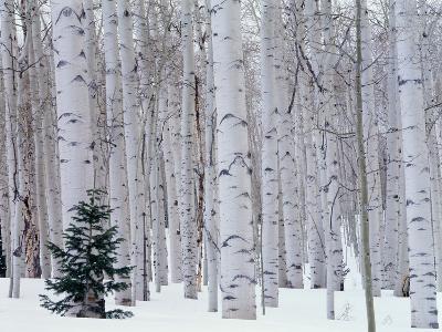 Aspen and Douglas Fir, Manti-Lasal National Forest, La Sal Mountains, Utah, USA