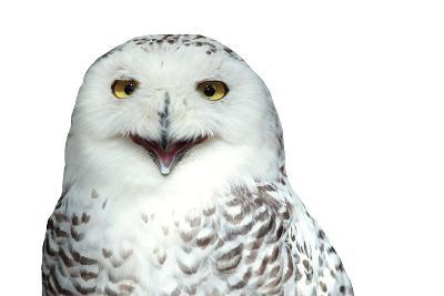 Snowy Owl (Bubo Scandiacus) Smiling And Laughing Isolated On White