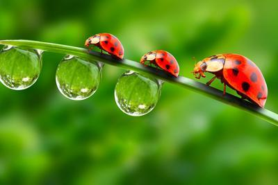 Ladybugs Family On A Dewy Grass. Close Up With Shallow Dof