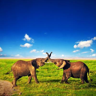 Elephants Playing With Their Trunks On African Savanna. Safari In Amboseli, Kenya, Africa