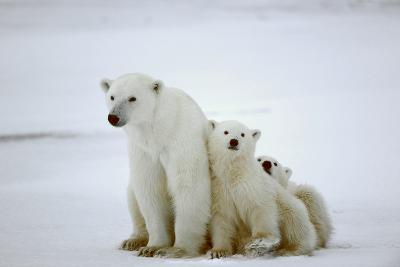Polar She-Bear With Cubs