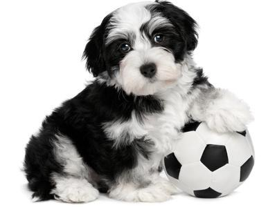 Cute Havanese Puppy Dog With A Soccer Ball