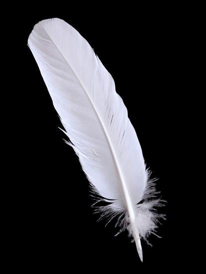 Pigeon Feather On The Black Background Photographic Print ...Feather Background Twitter