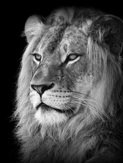 portrait of a lion in black and white photographic print by reinhold