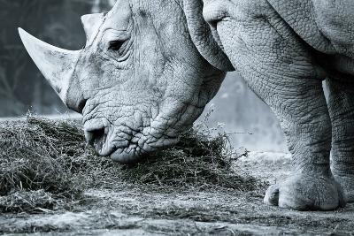 White Rhino In Black And White Eating