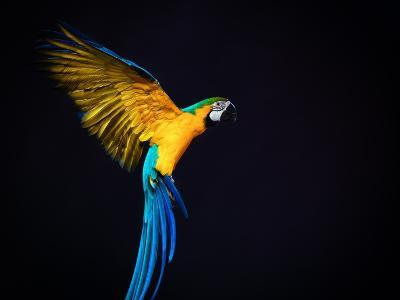 Flying Ara On A Dark Background