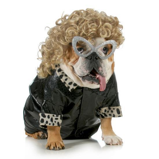 Female Dog English Bulldog Wearing Blonde Wig And Black