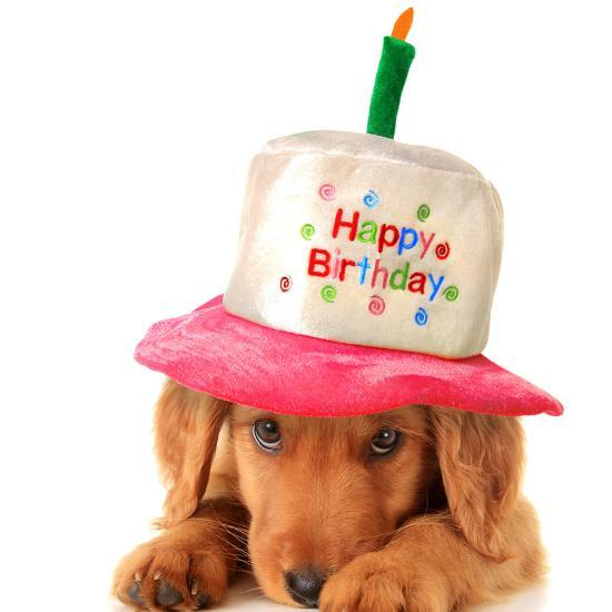 A Golden Retriever Puppy Wearing Happy Birthday Hat Photographic Print By Hannamariah At AllPosters
