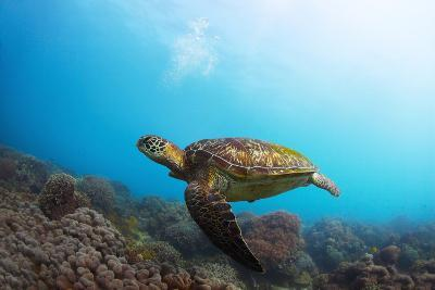 Underwater Shoot of a Sea Turtle (Chelonioidea) Swimming over Coral Reef