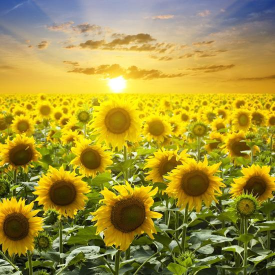 Image result for images of sun flowers field