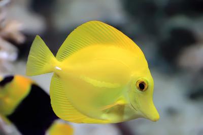 Zebrasoma Yellow Tang Fish
