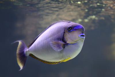 Close-Up View of a Bignose Unicornfish