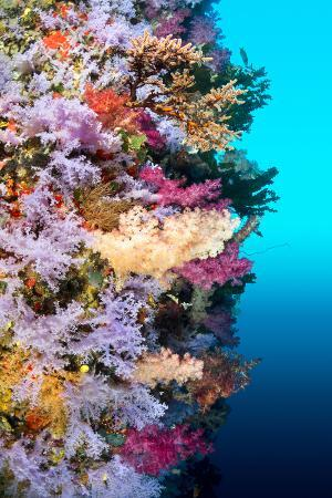 A Vibrantly Colored Reef Wall in Fiji Hosts a Large Species of Hard and Soft Corals and Gorgonian S