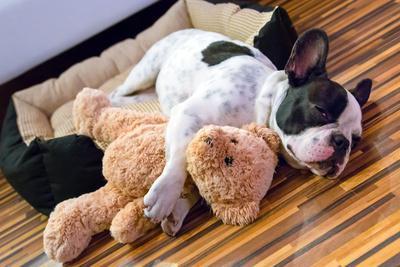 French Bulldog Puppy Sleeping with Teddy Bear Photographic ...