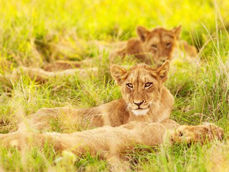 photo of an african lion cubs , south africa safari, kruger national