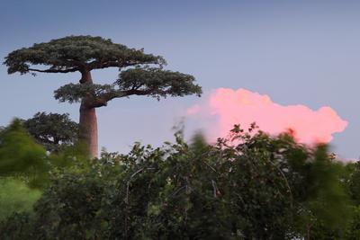 Baobab Tree during Sunset. Madagascar