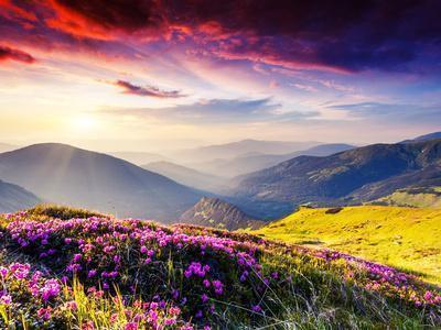 Magic Pink Rhododendron Flowers on Summer Mountain. Dramatic Overcast Sky. Carpathian, Ukraine, Eur