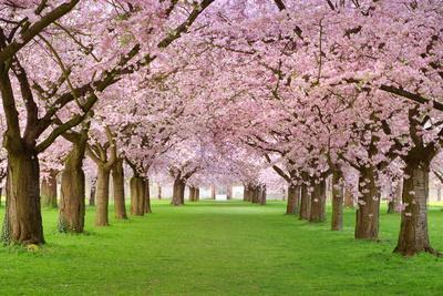Cherry Blossoms Plenitude