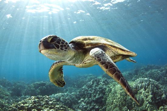 metal turtle wall decor.htm hawaiian green sea turtle  photographic print swims with fish  hawaiian green sea turtle  photographic