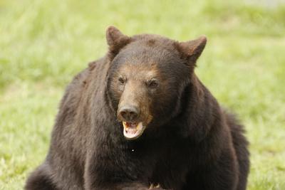 Snarling Black Bear