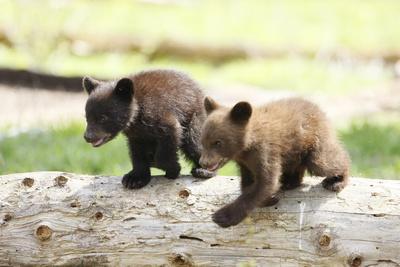 Two Black Bear Cubs on a Log