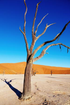 Dead Tree, Namib Desert, Namibia