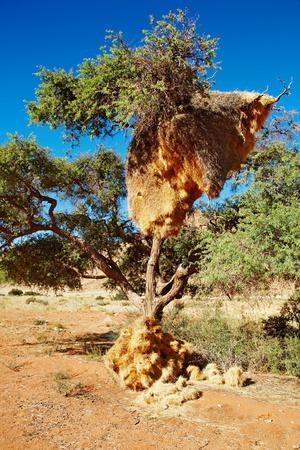 Tree with Big Nest of Weaver Birds Colony, Kalahari Desert, Namibia