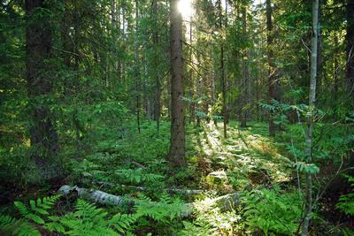 Forest in Northern Fern at Sunrise, Sunlight Passes through Thickets of Blackberry and Fern Highlig