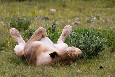 Relaxed Lioness at Etosha National Park