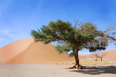 Dune and Single Tree at Sossusvlei, Namib Desert, Namibia