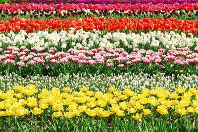 Colorful Strokes of Tulips in Famous Dutch Spring Garden 'Keukenhof' Holland