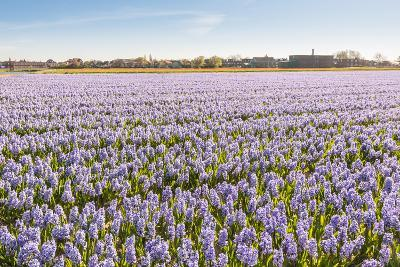 Field with Lilac Flowering Hyacinths