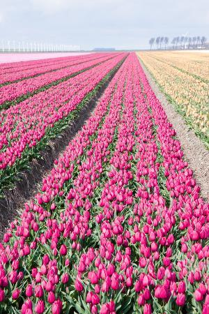 Dutch Cultivation of Tulip Flower Bulbs in Spring