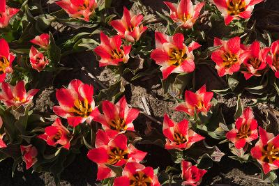 Little Red Tulips in Spring